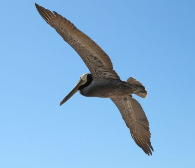 A brown pelican in flight.