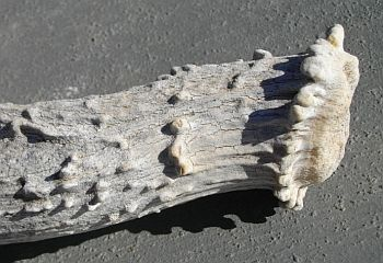 Up close you can see the ripples and bumps on this deer antler.