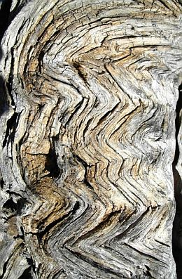 Very interesting growth patterns are found on the ancient mesquite trees.