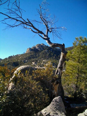 A gnarled tree framing a distant peak.