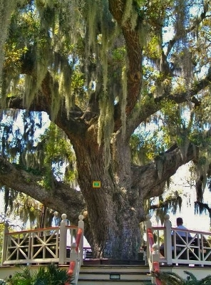 Our favorite Live Oak to sit under.